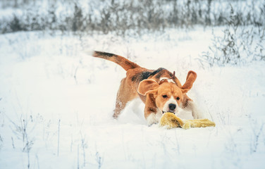 Young beagle on active winter walk