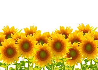 Sonnenblumen, isoliert auf weißem Hintergrund