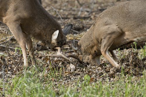 Wall mural Whitetail Deer fighting