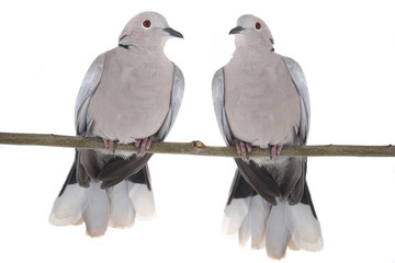 two eurasian collared dove