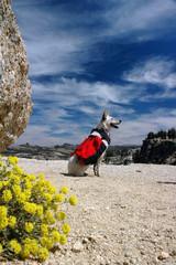 Backpacking Dog