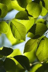 Closeup of Elm Leaves