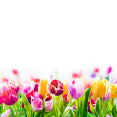 Colourful spring tulips on a white background