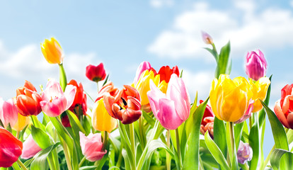 Beautiful botanical background of spring tulips