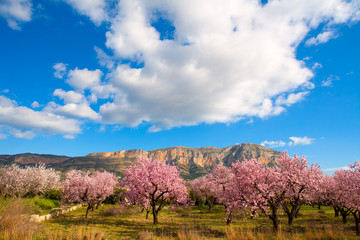 Mongo in Denia Javea in spring with almond tree flowers