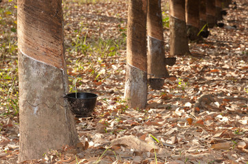 Tapping latex from a rubber tree.