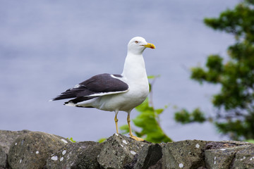 Lesser Black-backed Gull ( Larus fuscus)