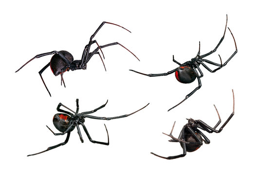 Spider, Black Widow, Red back female, views isolated on white