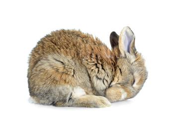 Obraz Śpiący królik - fototapety do salonu