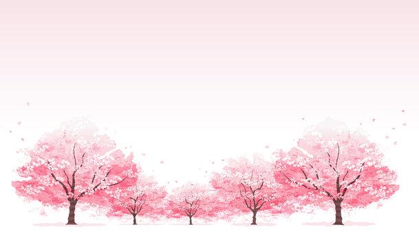 桜並木 Line of cherry blossom tree background