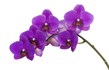 Tuinposter Orchidee Dark purple orchid isolated on white background