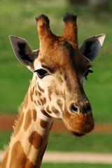 Giraffe Closeup Face