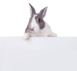 Rabbit with blank sheet on white background