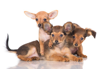 three russian toy terrier puppies