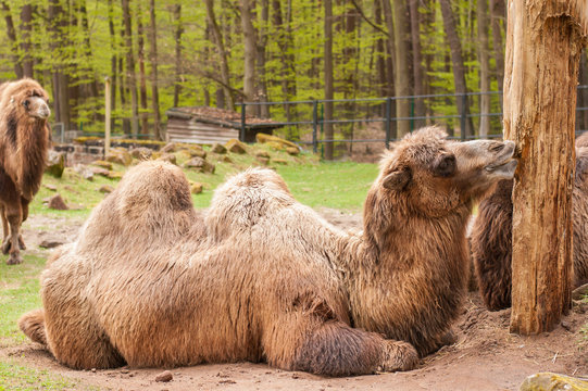 Bactrian camel in the zoo