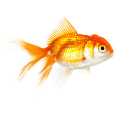 Close up of swimming goldfish, isolated
