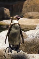 Humboldt penguin (Spheniscus Humboldt) in a zoo