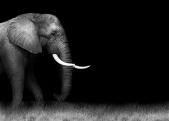 Wall Mural - African elephant in black and white