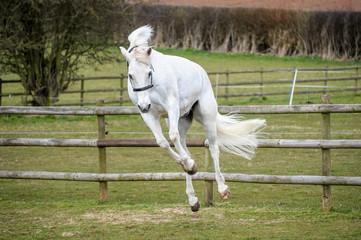 Grey Horse Bucking