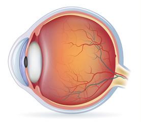 Obraz Human eye anatomy, beautiful colorful medical illustration - fototapety do salonu