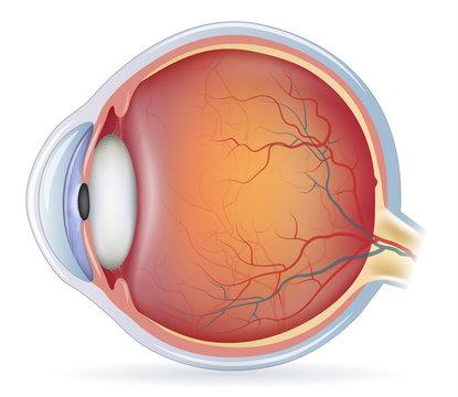 Human eye anatomy, beautiful colorful medical illustration