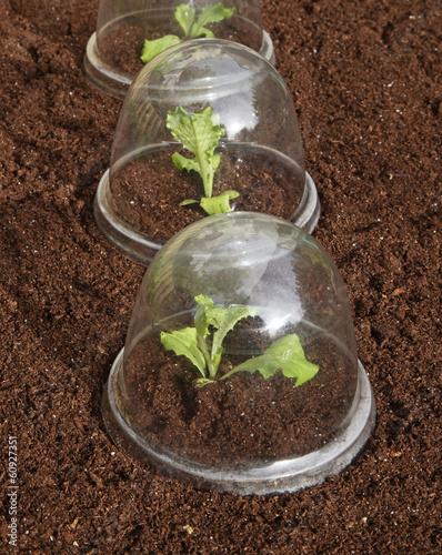 plantation de salades sous cloches en plastique photo libre de droits sur la banque d 39 images. Black Bedroom Furniture Sets. Home Design Ideas