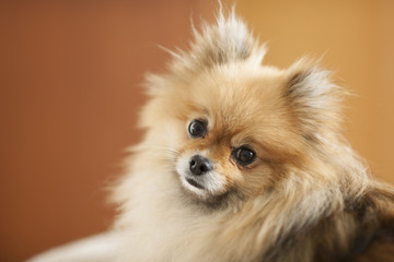 Toy Pom dog