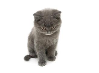 little kitten Scottish Straight breed isolated on white backgrou