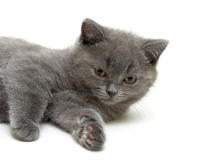 Scottish Straight breed kitten on white background