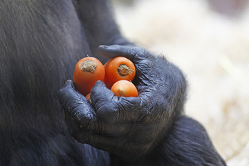 Gorilla hands holding a bunch of carrots
