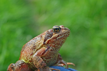 Marsh frog sits on a green leaf