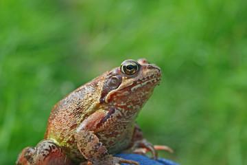 Marsh frog sits on a green leaf