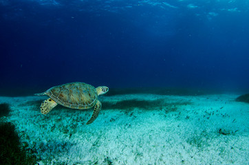 Sea turtle, Caribbean.
