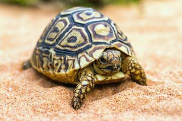 Tortoise on the sand (Testudo hermanni)