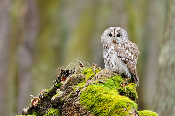 Fototapete - Tawny Owl in the wood