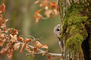 Fototapete - Tawny Owl hiddne behind tree trunk