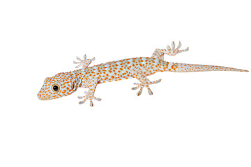 Gecko isolated on white background with path