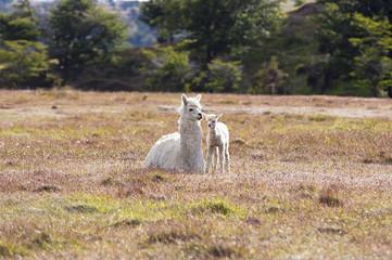 Domestic llama