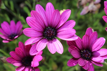 Anthemis Violet