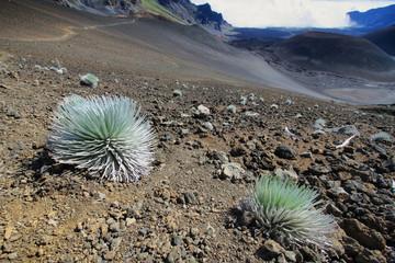 Silversword Plant, Haleakala National Park