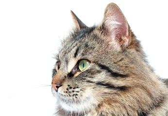 furry adult cat