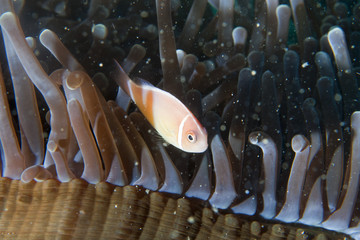 Clown fish in anemone with shrimps in Raja Ampat Papua, Indonesi