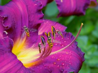Garden Poster Pink Liliowiec - makro fotka