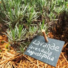 Culinary lavender - Lavande Lavendula Angustifolia in garden