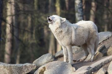 white standing wolf