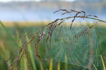 Web on grass. Spider on a web. Dew on a web. Solar morning.