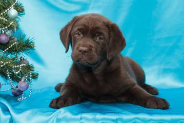 Fotobehang - chocolate labrador retriever puppy