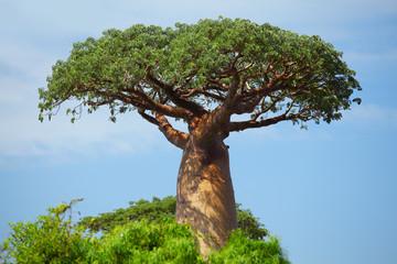 Photo sur Aluminium Baobab Baobab
