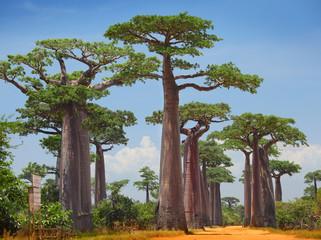 Printed roller blinds Baobab Baobab