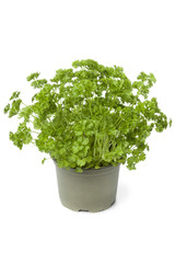 Plastic pot with parsley